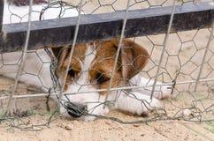 Liten stålarrussel terrier som sitter ledset behind netto Arkivbild