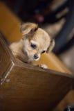 Liten stilig chihuahuavalp med roliga öron i buren Arkivfoton