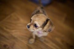 Liten stilig chihuahuavalp med roliga öron i buren Arkivfoto