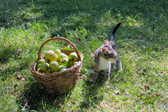 Liten strimmig kattkattunge nära en korg med äpplen Arkivbild