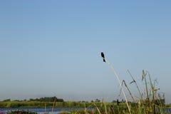 Liten svart fågel på vassen i träsk med bakgrund för blå himmel Royaltyfri Foto