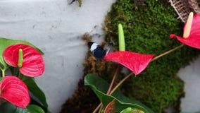 liten svart fjäril på en röd exotisk blomma stock video