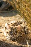 Liten svart Footed katt (felisnegripes) Arkivbild