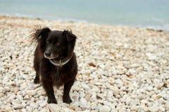 Liten svart hund som är vaksam på en stenstrand Royaltyfri Fotografi