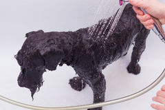 Liten svart hund som har ett bad Arkivfoton