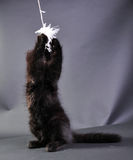 Liten svart kattunge som spelar med leksaken Arkivbild