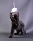 Liten svart kattunge som spelar med leksaken Arkivfoto