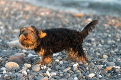Liten svart och brunt Yorkshire Terrier på kiselstenar för ett bakgrundshav på stranden Arkivfoto