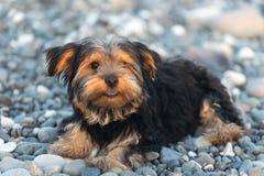 Liten svart och brunt Yorkshire Terrier på kiselstenar för ett bakgrundshav på stranden Arkivbilder