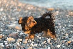 Liten svart och brunt Yorkshire Terrier som är yakshinskiy på kiselstenar för ett bakgrundshav på stranden Royaltyfri Bild