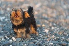 Liten svart och brunt Yorkshire Terrier som är yakshinskiy på kiselstenar för ett bakgrundshav på stranden Royaltyfria Bilder