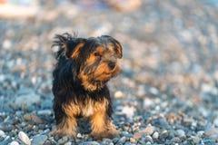 Liten svart och brunt Yorkshire Terrier som är yakshinskiy på kiselstenar för ett bakgrundshav på stranden Arkivfoton