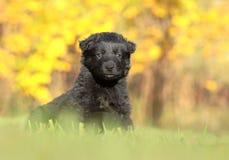 Liten svart valp i trädgård arkivfoton