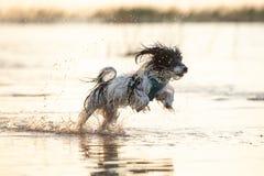Liten svartvit hund som omkring kör i grunt vatten royaltyfri foto