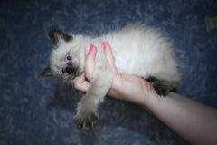 Liten svartvit kattunge med blåa ögon arkivfoton