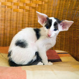 Liten svartvit siamese kattunge Arkivbilder