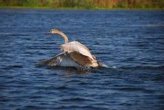 liten swan Fotografering för Bildbyråer