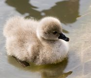 liten swan Arkivbilder