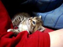 liten tabby för kattunge Fotografering för Bildbyråer