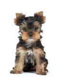 liten terrier yorkshire Arkivbild