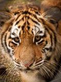 liten tiger Arkivbild