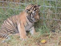 liten tiger Fotografering för Bildbyråer