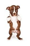 Liten tiggeri för Boston Terrier valphund Arkivbild
