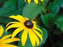 Liten trädgårds- spindel på svart synade susan Royaltyfri Bild