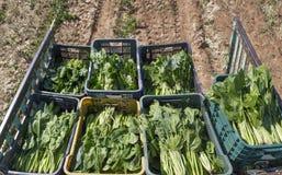 Liten traktorsläp med spinachs som samlas precis Arkivfoton