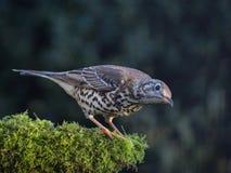 liten trast för fågelmistle Royaltyfri Bild