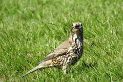 liten trast för fågelmistle Royaltyfri Foto