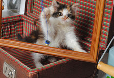 Liten tre-färgad kattunge i en retro resväska som spelar med fotoramen Royaltyfri Fotografi