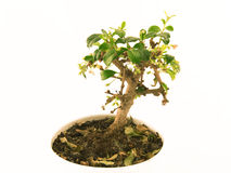 liten tree Royaltyfria Foton