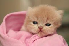 liten trevlig sight för fluffig kattunge Royaltyfri Bild