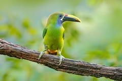 Liten tukan Blått-throated Toucanet, Aulacorhynchus prasinus, grön tukanfågel i naturlivsmiljön, exotiskt djur i tropiskt Royaltyfri Fotografi