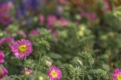 Liten tusensköna/solros med suddig trädgårdbakgrund arkivbilder
