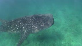 Liten typus för Rhincodon för valhaj som långsamt flyttar sig i det indiska havet arkivfilmer