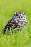 Liten uggla i långt gräs Fotografering för Bildbyråer
