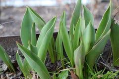 Liten växande tulpan i vår Groddar kärnar ur växtblomman arkivbild