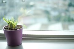 Liten växt i den violetta krukan Fotografering för Bildbyråer