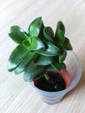 liten växt i en plast- kopp Royaltyfria Bilder
