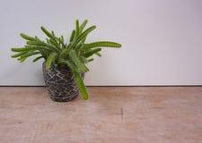 Liten växt i krukakaktuns som isoleras på vit och träbackround fotografering för bildbyråer