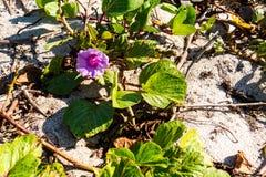 Liten växt på stranden Royaltyfri Foto