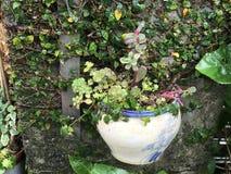 Liten växt som hänger på väggen Royaltyfri Fotografi
