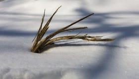 Liten växtkropp, i att glimma insnöad Ungern på ett kallt soligt D arkivbild