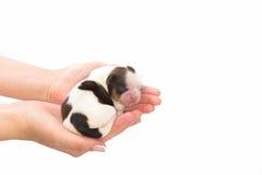 Liten valp för shihtzuhund som sover på de mänskliga händerna Arkivbilder
