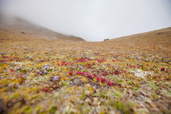 Liten vegetation på höjden av 5000 meter i Khumbu dal I Arkivfoton