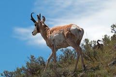 Liten vik för träsk för amerikanPronghorn antilop near Arkivbild