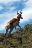 Liten vik för träsk för amerikanPronghorn antilop near Royaltyfri Bild