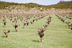 Liten vingård i Spanien Royaltyfri Bild
